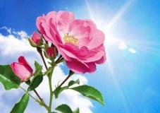 heavens rose